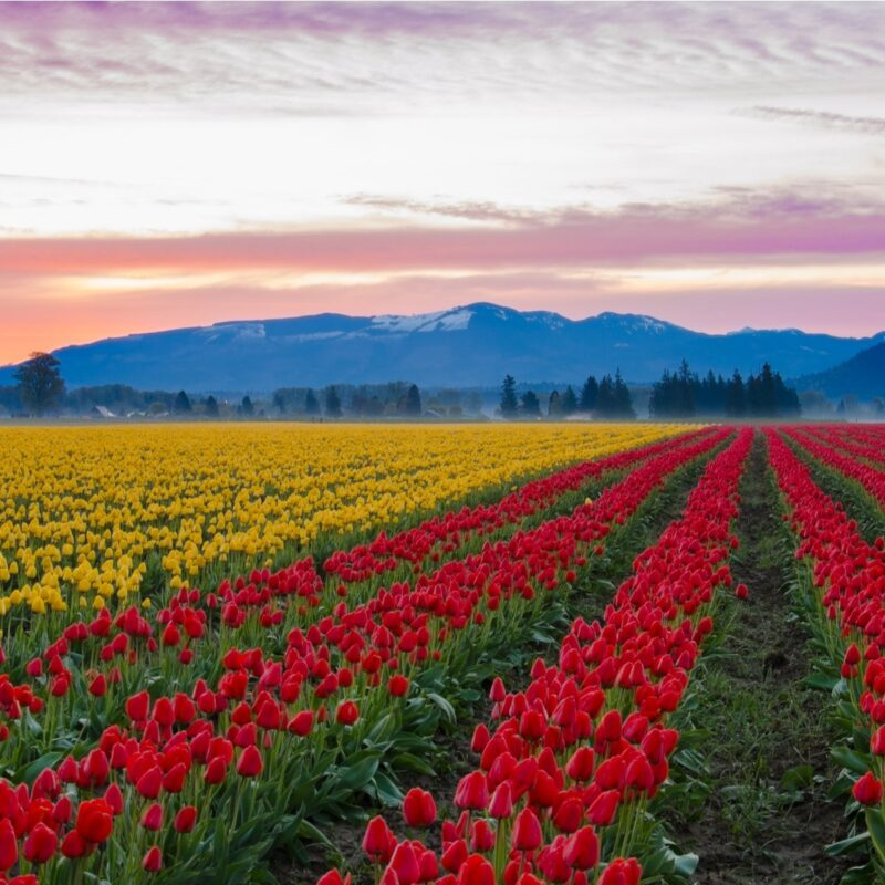 Colourful tulips in the large fields of Skagit Valley.