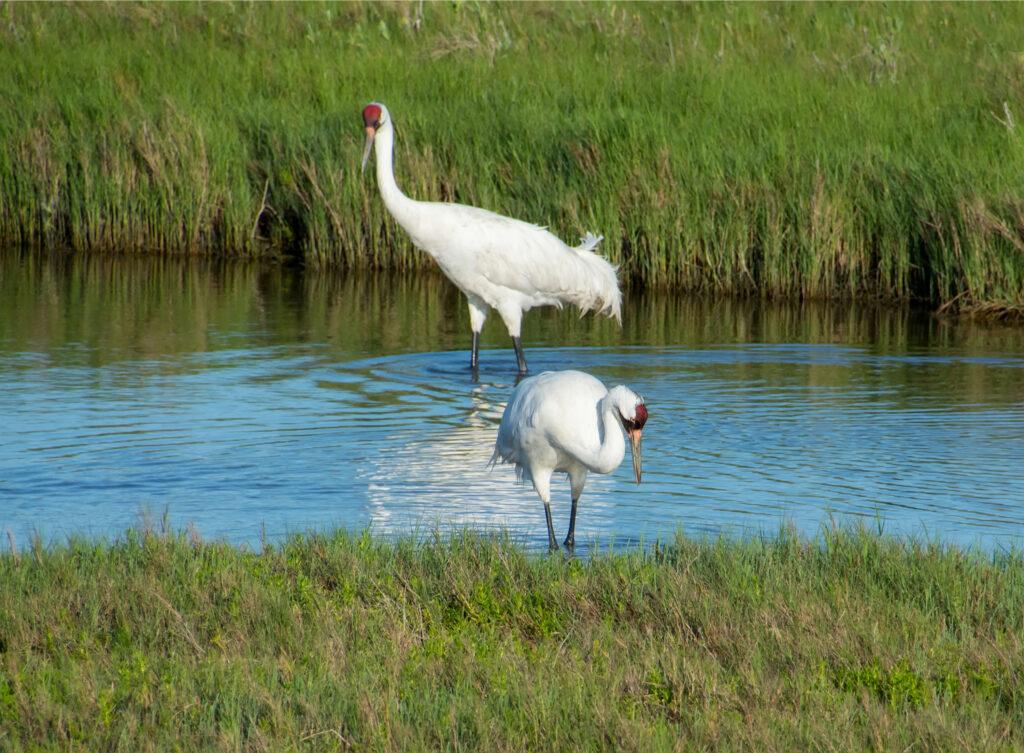 Cranes at the Aransas National Wildlife Refuge.