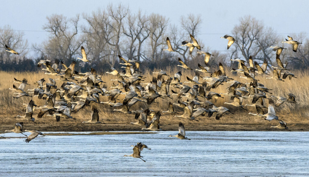 Cranes flying during the migration in Nebraska.