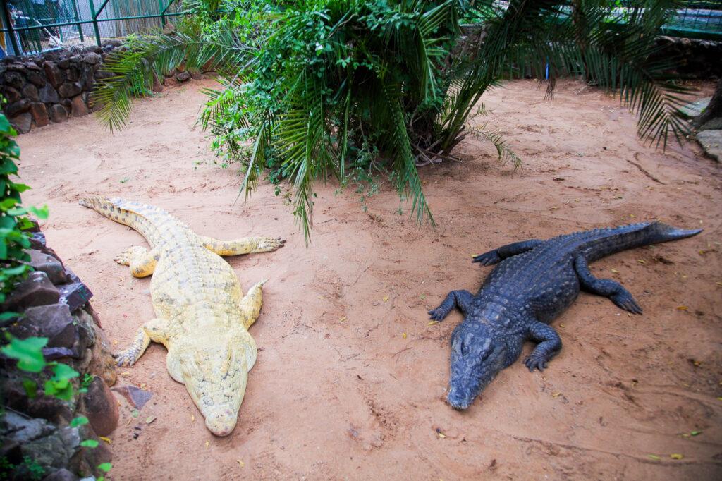 Crocodiles in Crocodile Park.
