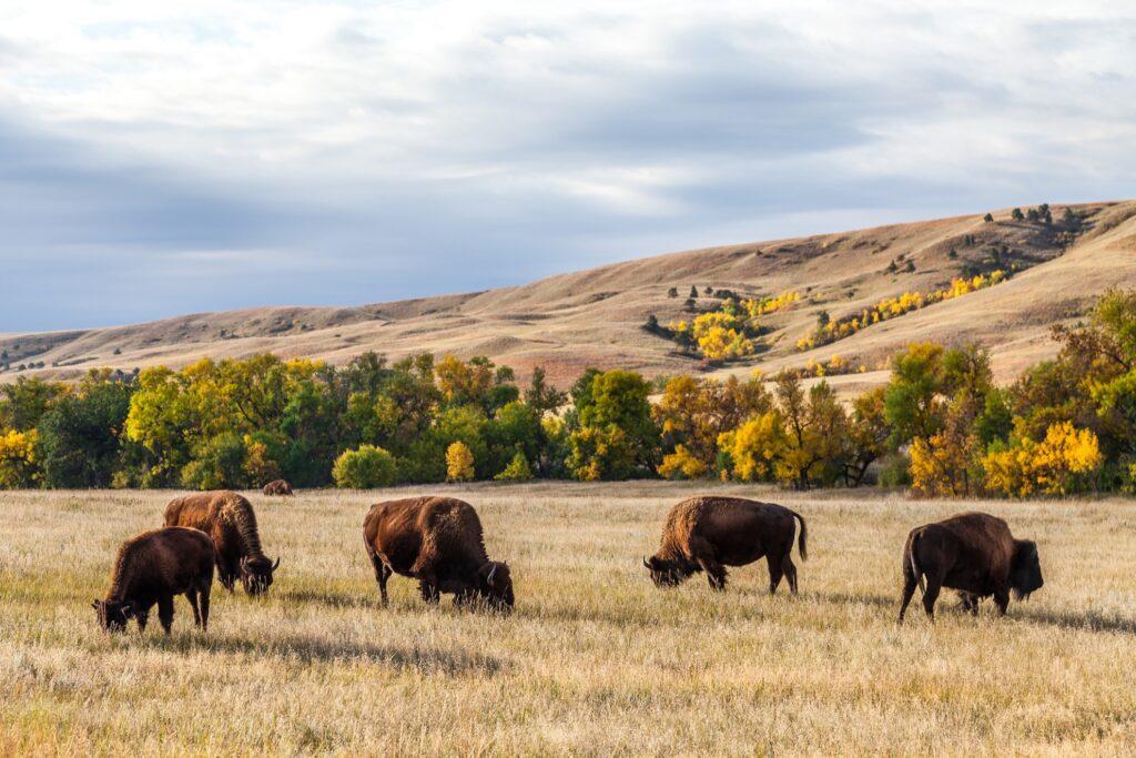 Custer State Park in South Dakota.