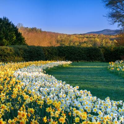Daffodil drifts, Gibbs Gardens.