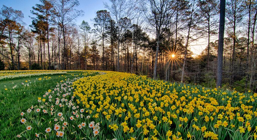 Daffodils in sunrise, Gibbs Gardens, Georgia.