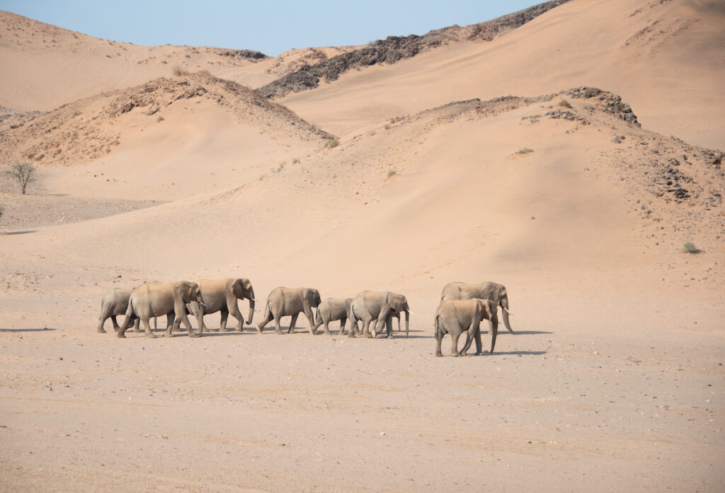 Desert-adapted elephants in Namibia.