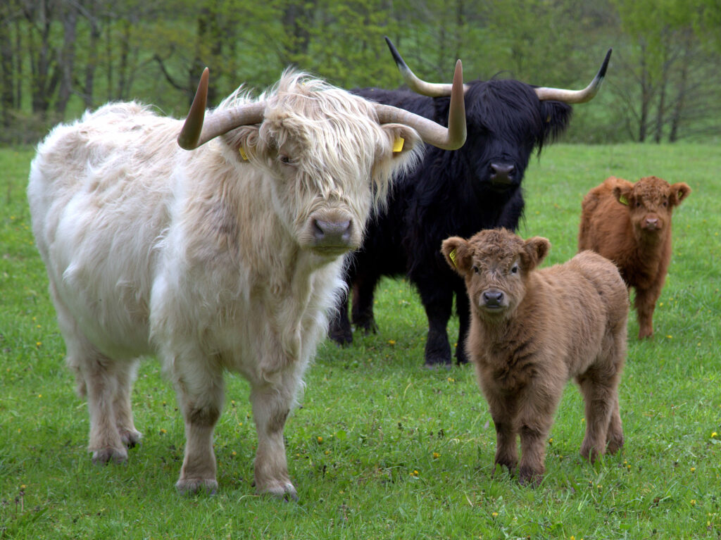 Different colors of Highland cattle.