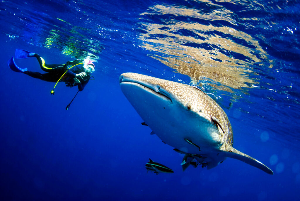 Diving with a whale shark in the Riviera Maya.