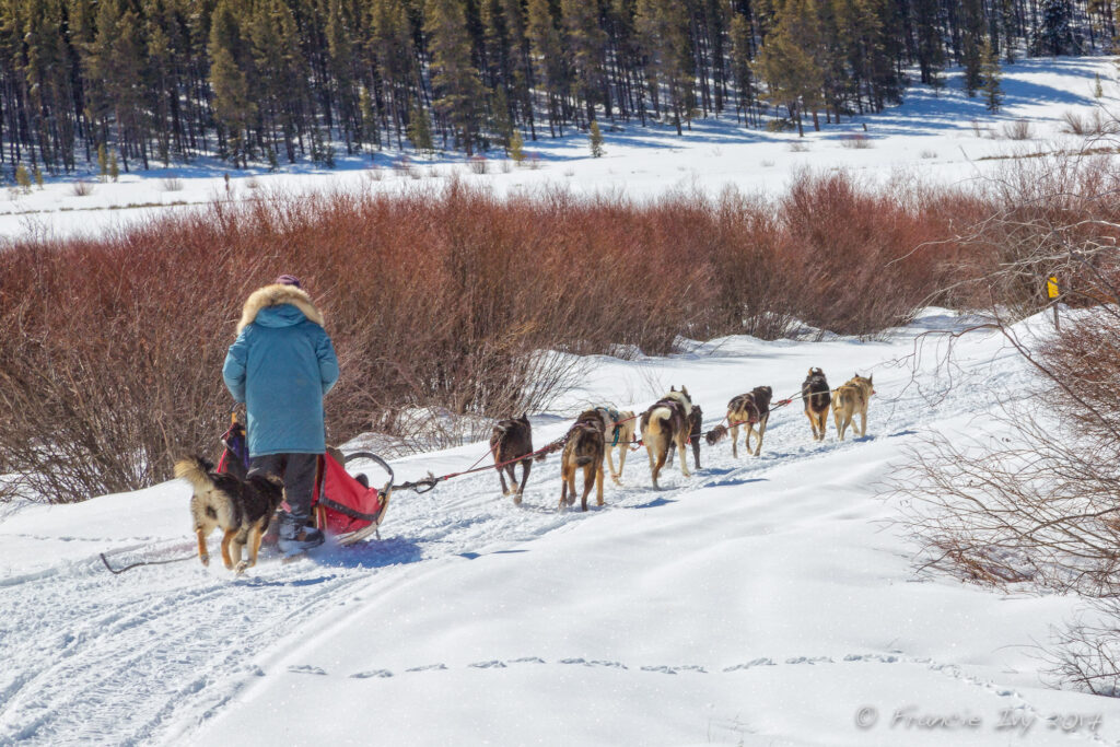 Dogs pulling a sled in Crested Butte, Colorado.