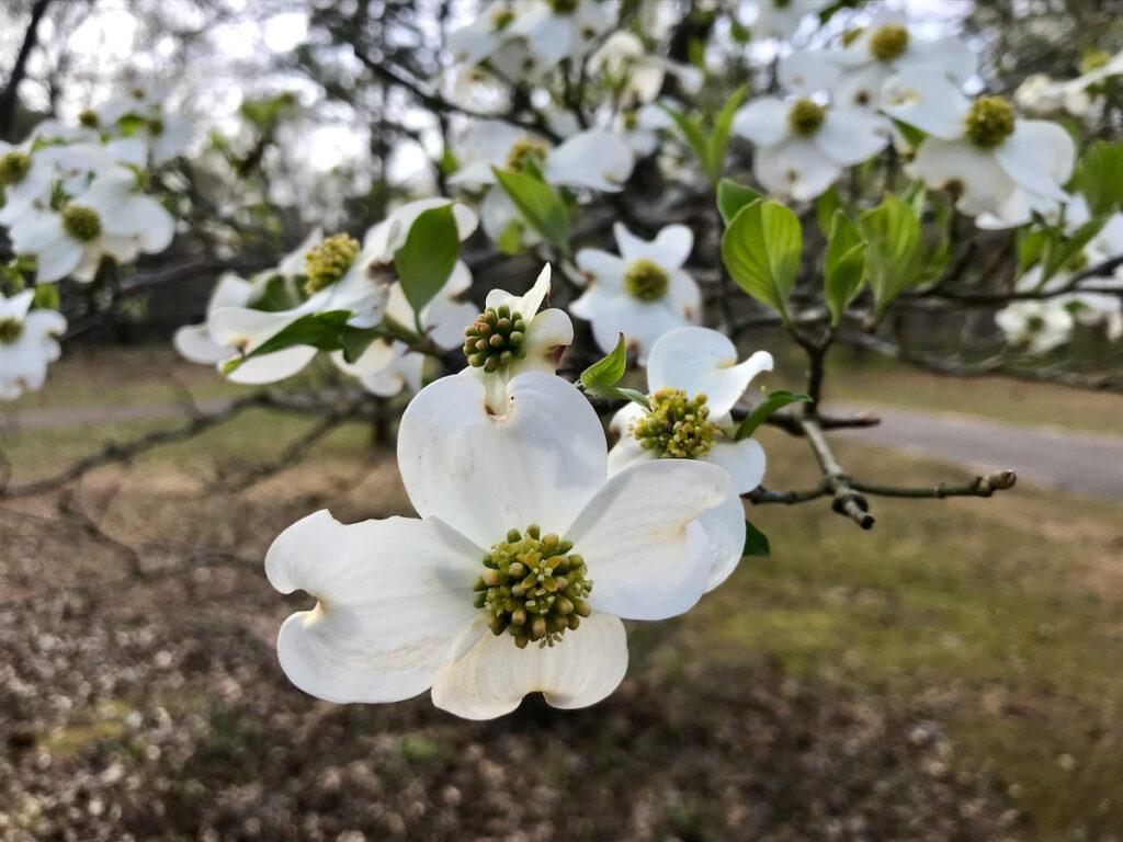 Dogwoods in bloom in Palestine, Texas.