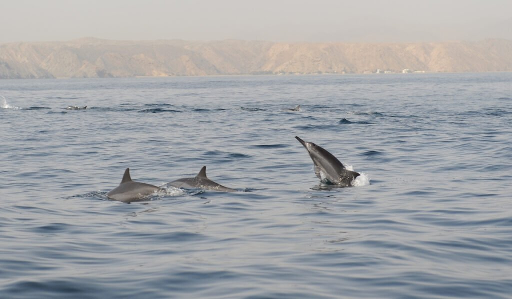 Dolphins off the coast of Muscat, Oman.