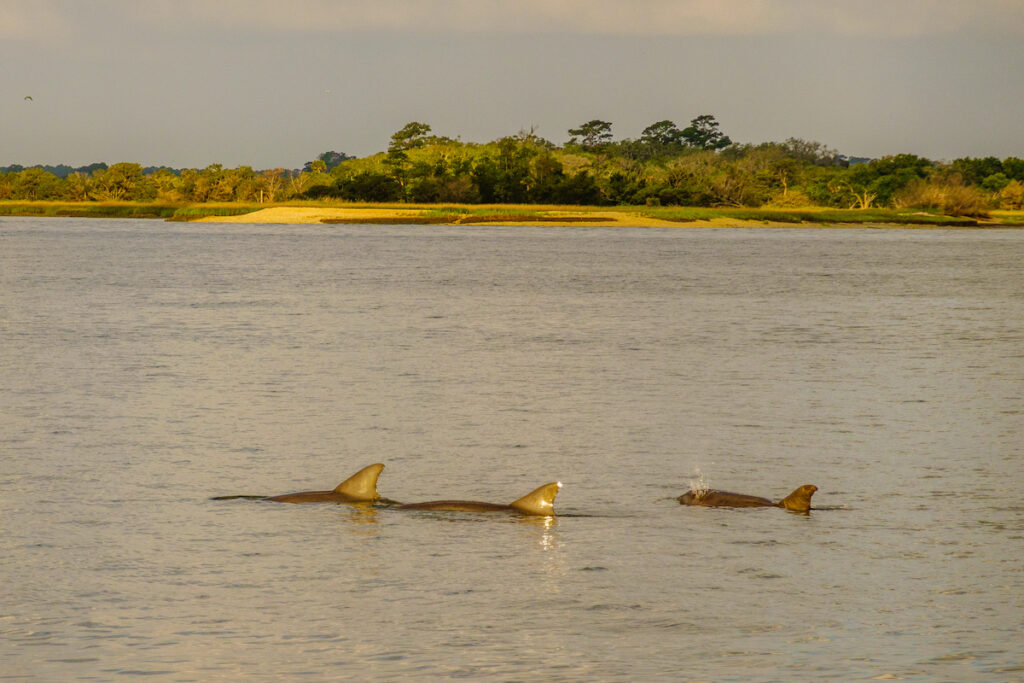 Dolphins off the coast of Seabrook Island.
