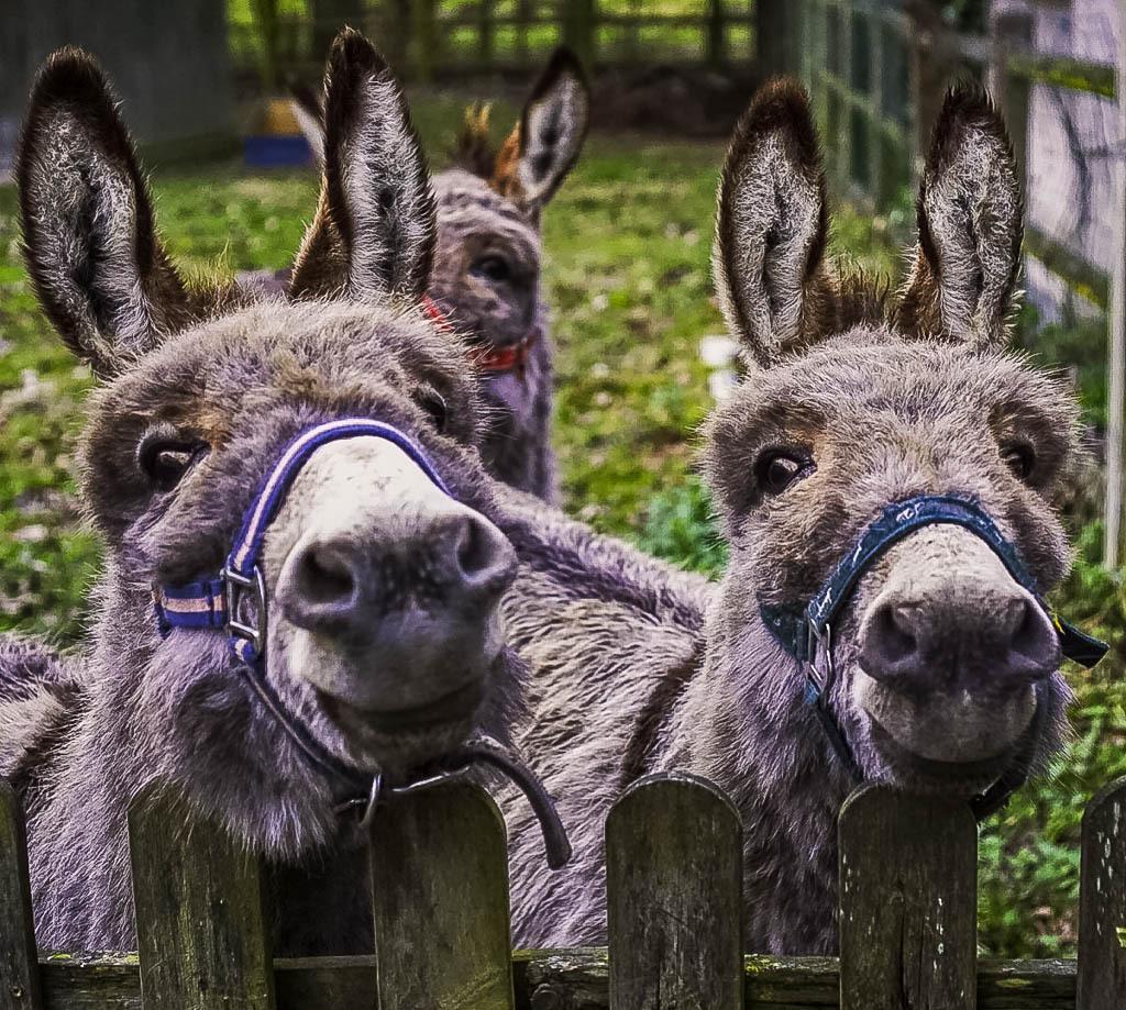 Donkeys at a housesitting job.