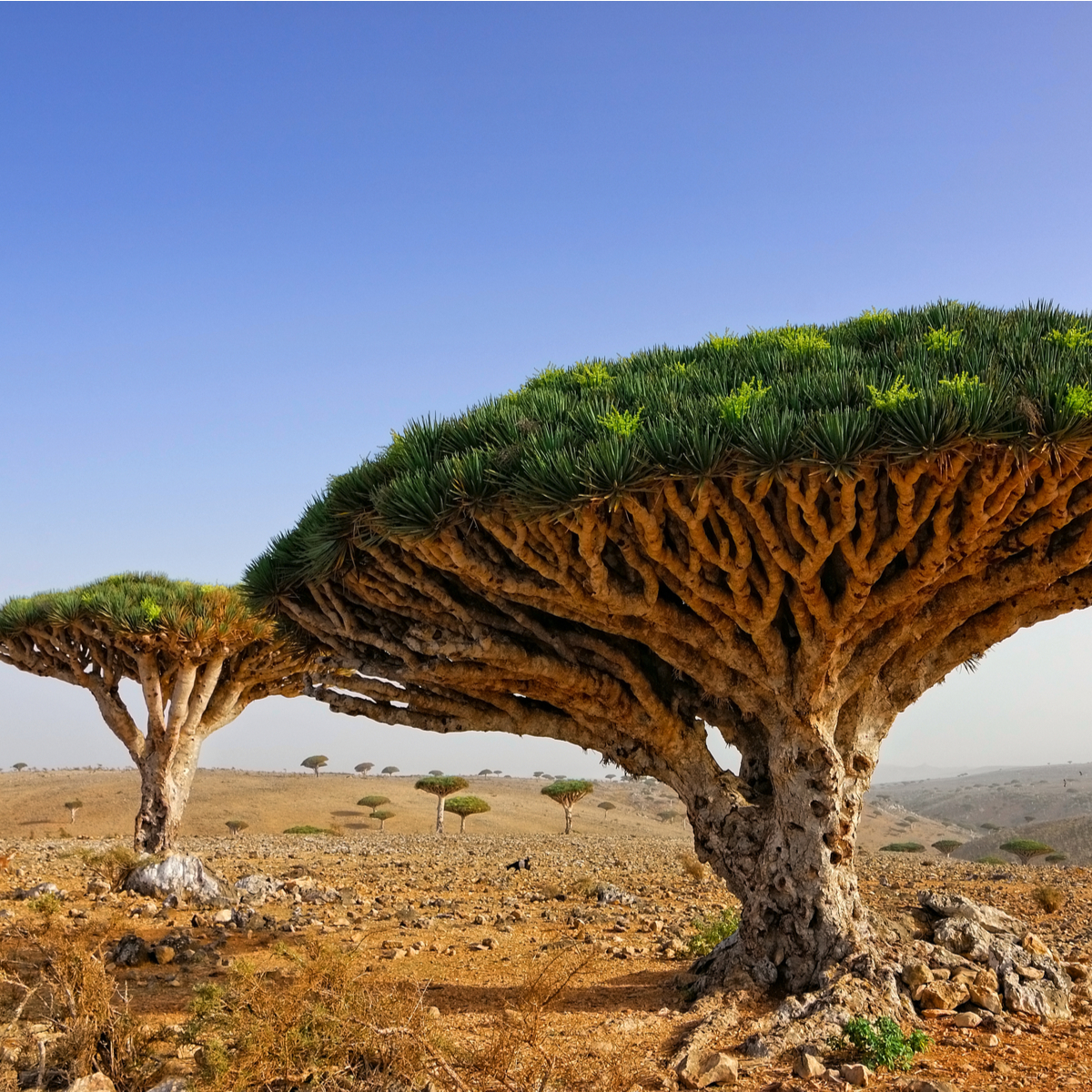 Dragon blood trees, Island of Socotra.