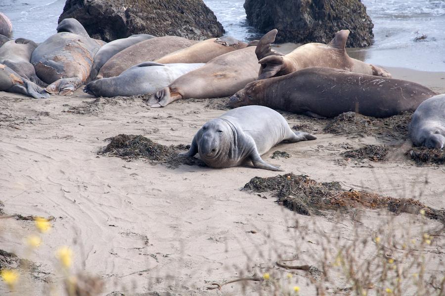 Elephant seals on a beach in Cambria, California.