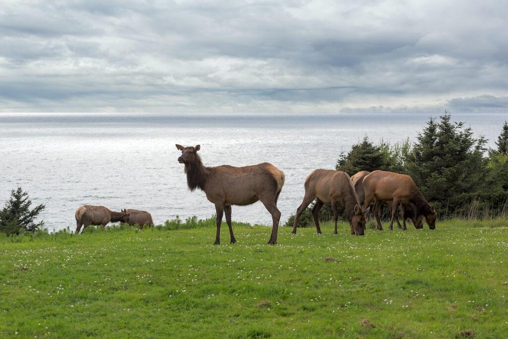 Elk grazing in Ecola State Park, Oregon.