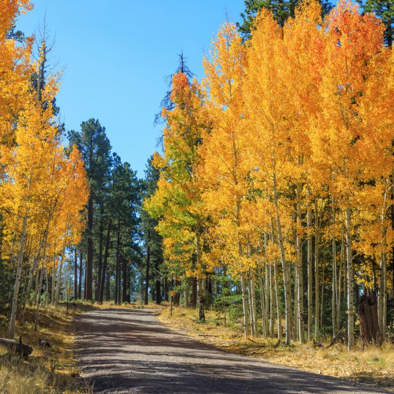 Fall foliage along a road in Arizona's White Mountains.
