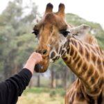 Feeding a giraffe at Giraffe Manor in Nairobi, Kenya.