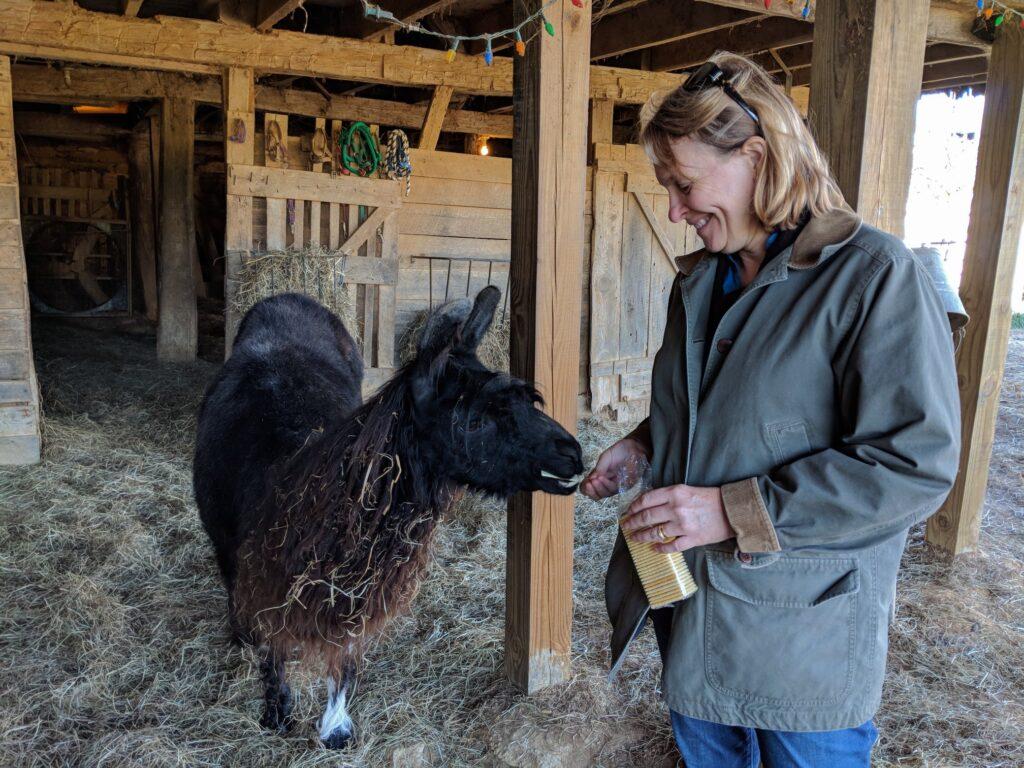 Feeding llamas at Posey Thisisit Llama Farm.