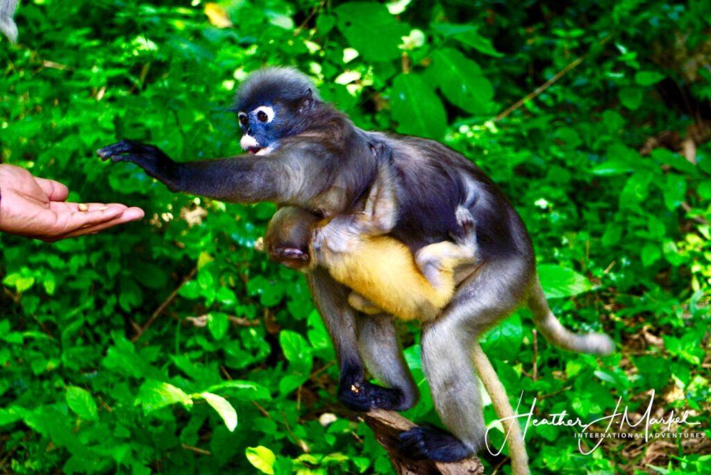 Feeding monkeys at the Dusky Langur Colony.