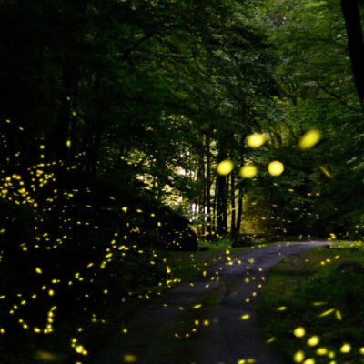 Synchronous fireflies in the Smoky Mountains