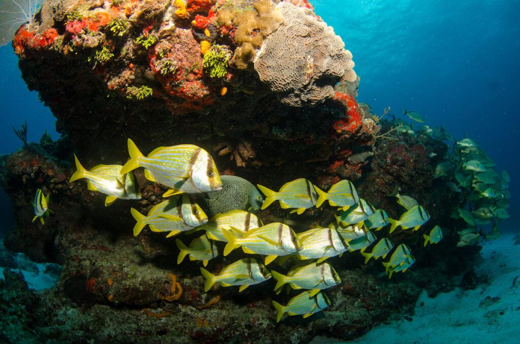 Fish along the Mesoamerican Reef.