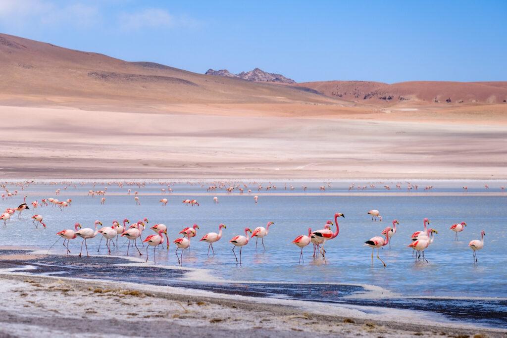 Flamingoes at the Uyuni Salt Flats in Bolivia.