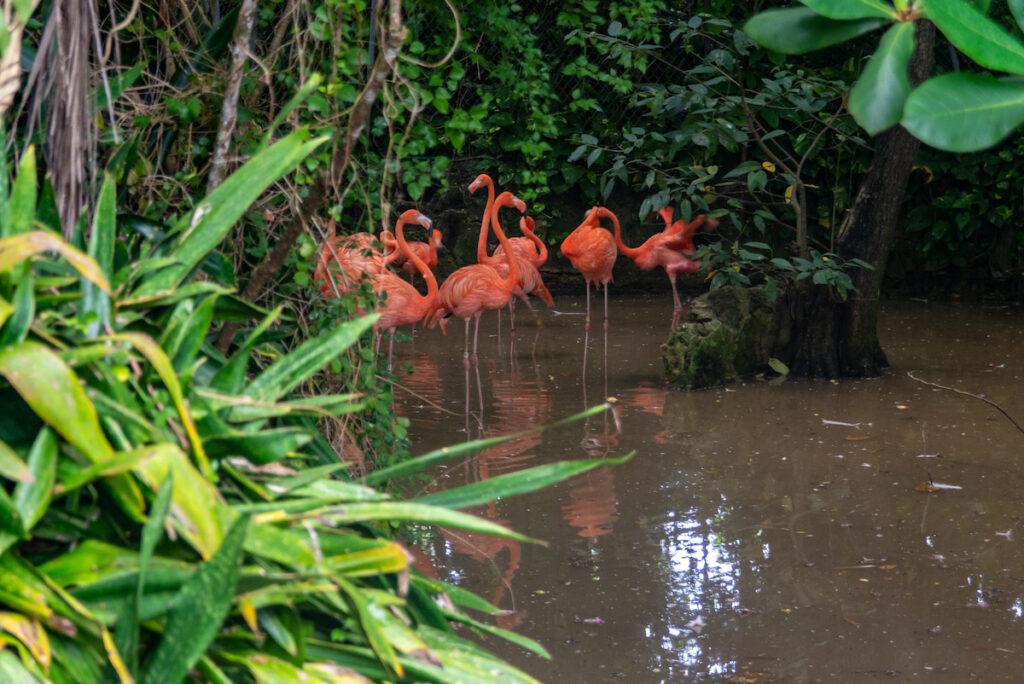 Flamingos at the Ardastra Gardens in Nassau.
