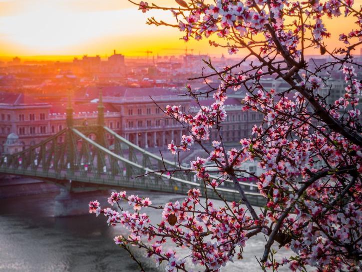 Flowering tree in foreground, bridge in Budapest across the Danube