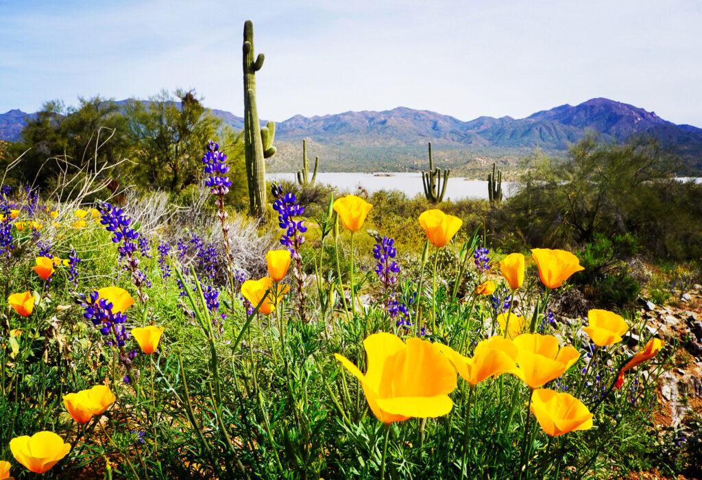 Flowers along Bartlett Lake in Scottsdale.
