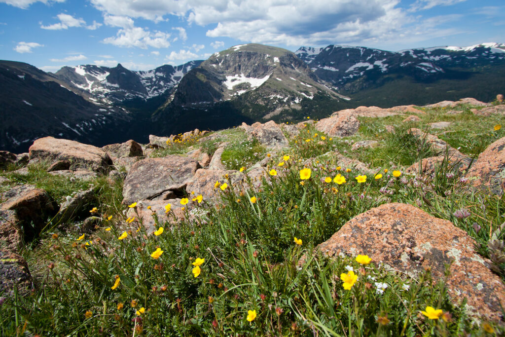 Flowers along Trail Ridge Road in Colorado.