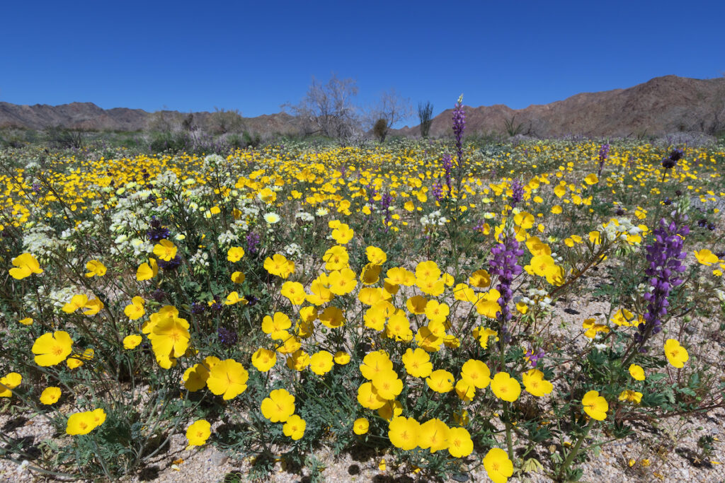 Flowers at Joshua Tree National Park in Southern California.