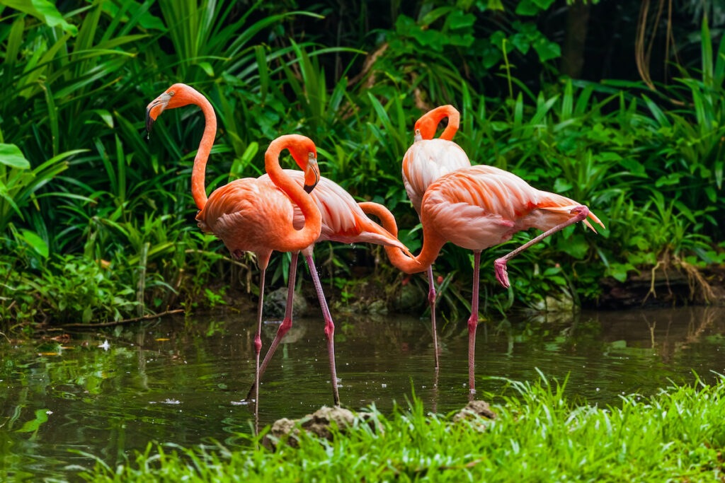 Four flamingos wading in in water.