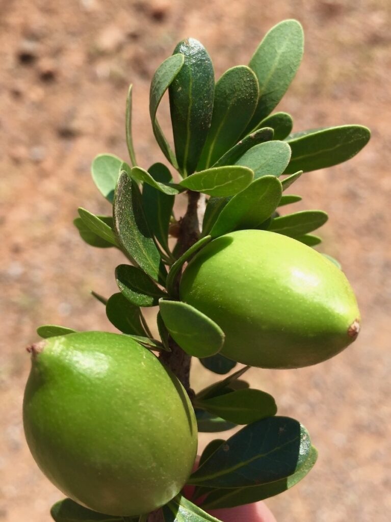 Fresh argan nuts from Morocco.