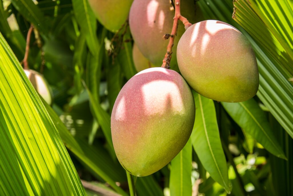 Fresh mangoes on a tree in Costa Rica.