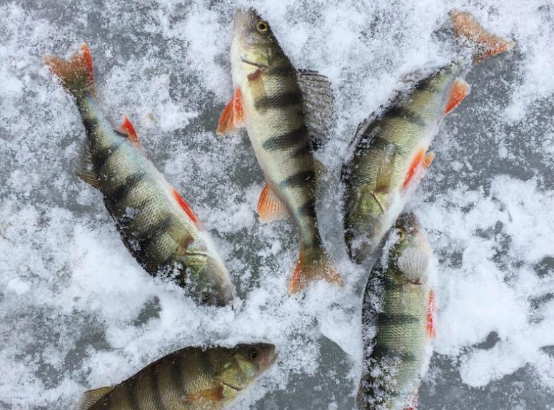 Freshly caught fish from Minnesota.