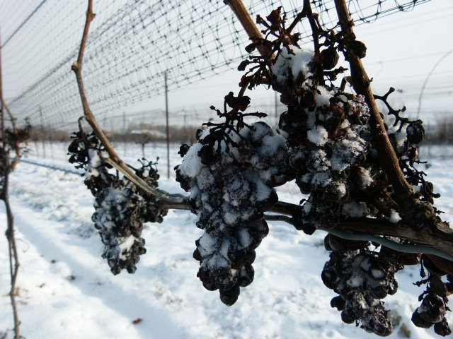 Frozen grapes used for ice wine.