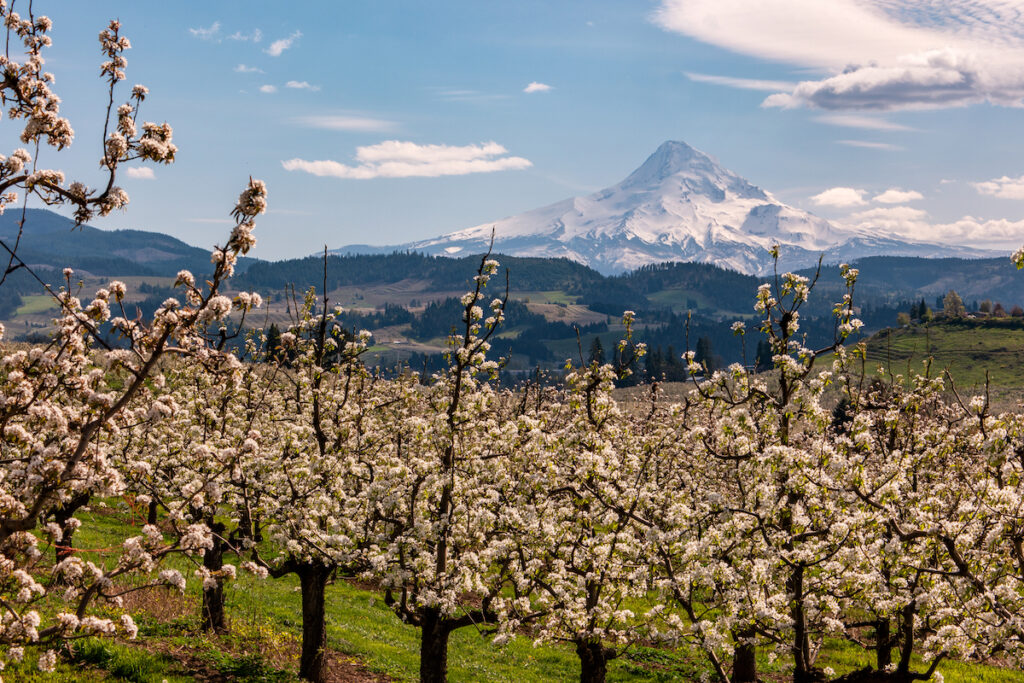 Fruit trees blossoming along the Fruit Loop in Oregon.