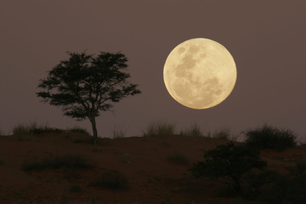 Full moon rise in South Africa with bush tree in foreground