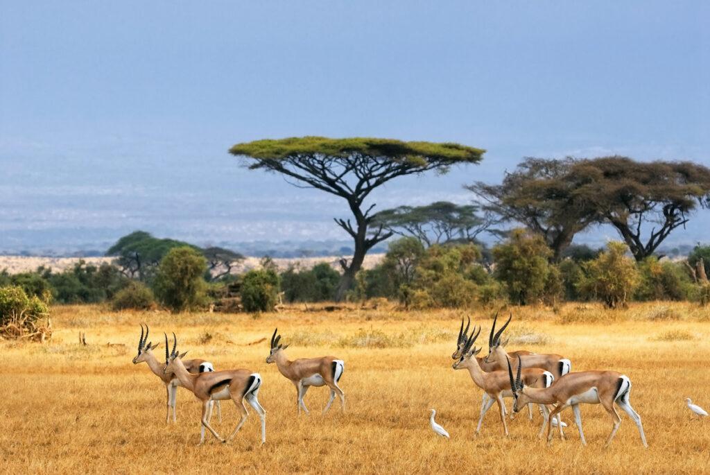 Gazelles in Kenya.
