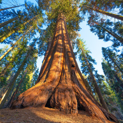 General Sherman, the world's tallest tree, in Sequoia National Park.