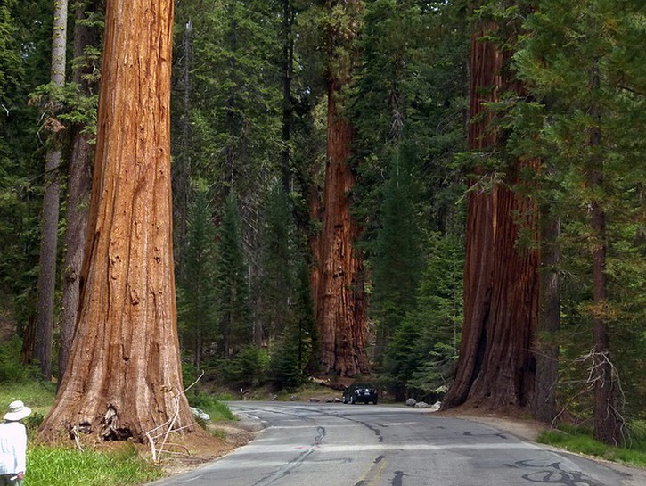 Giant sequoia trees on the side of the road