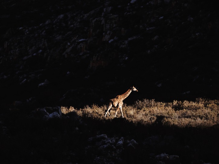 Giraffe illuminated by a spotlight.