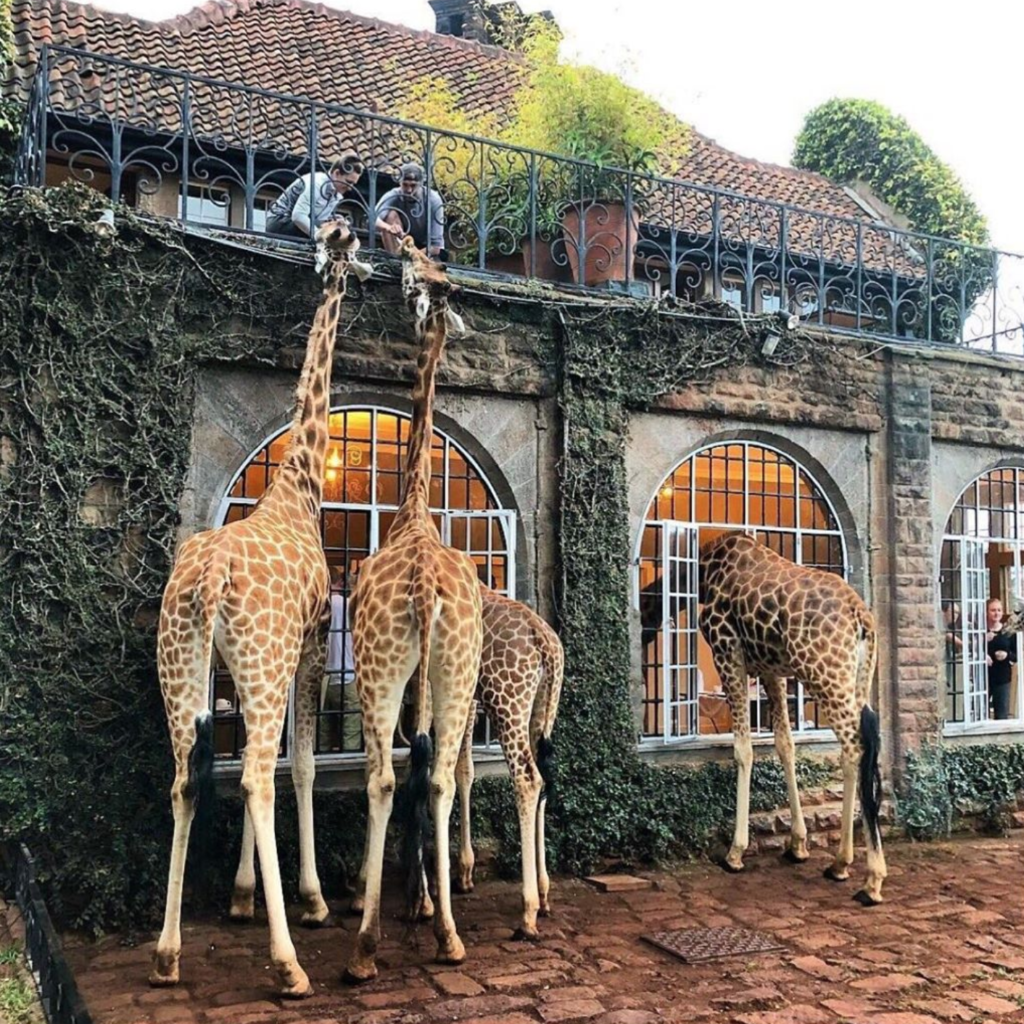 Giraffes greeting guests at the Manor.