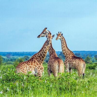 Giraffes in Kruger National Park.