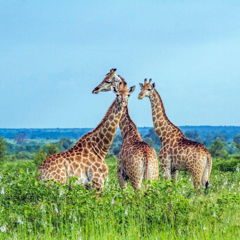 Giraffes in Kruger National Park.