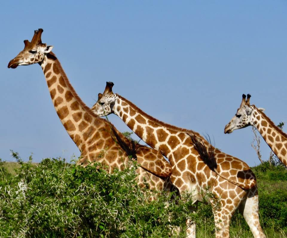 Giraffes in Murchison Falls National Park, Uganda.