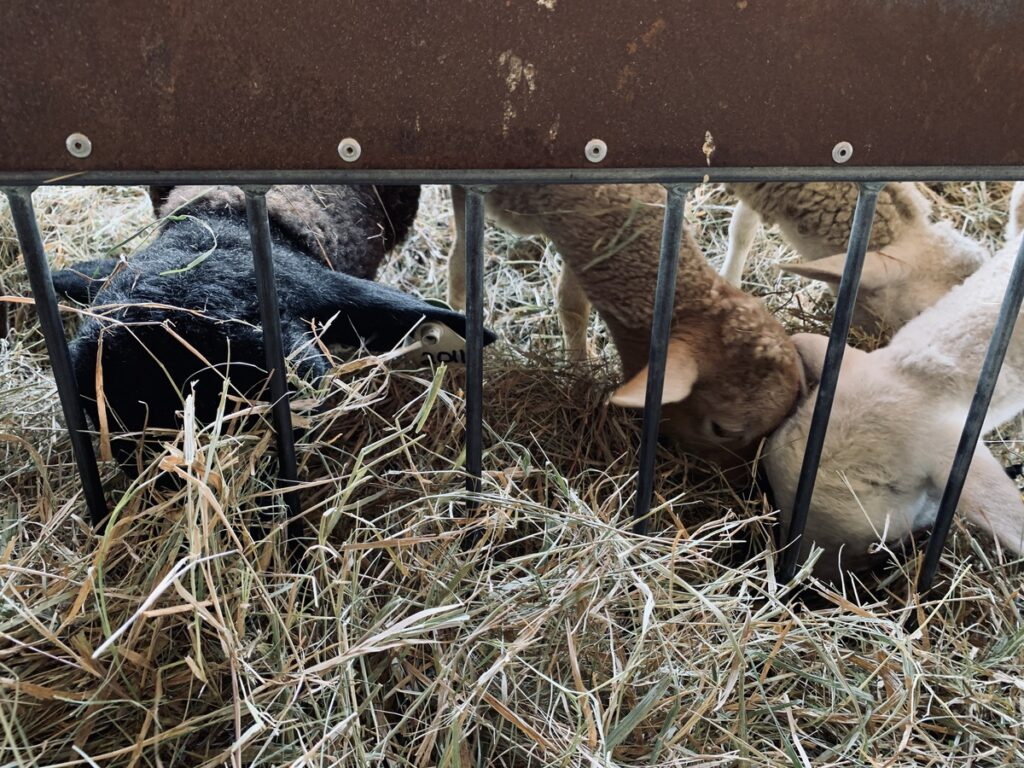 Goats at Wolf's Neck Farm in Freeport.