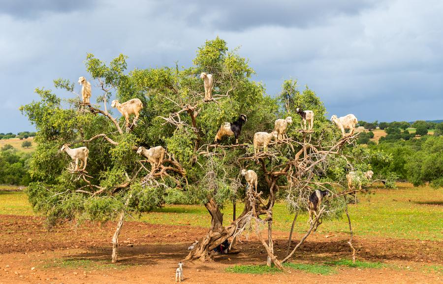 Goats in an argan tree in Morocco.