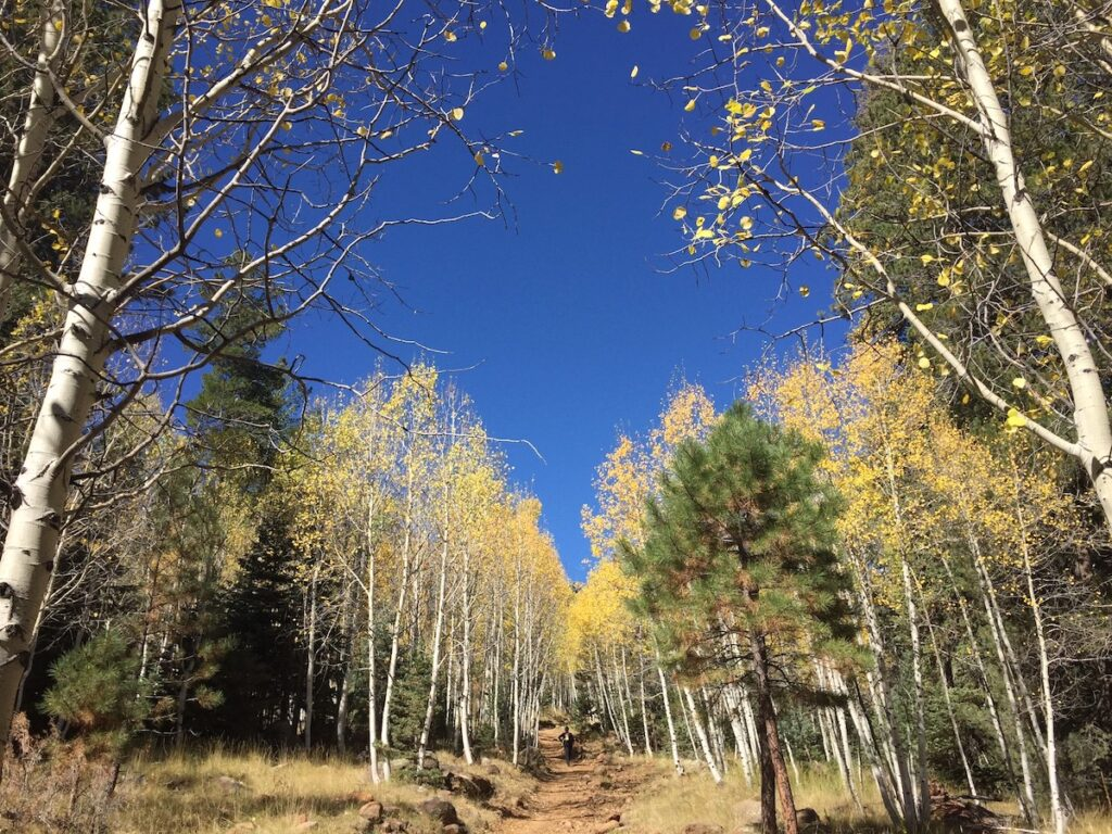 Golden aspens in Flagstaff, Arizona.