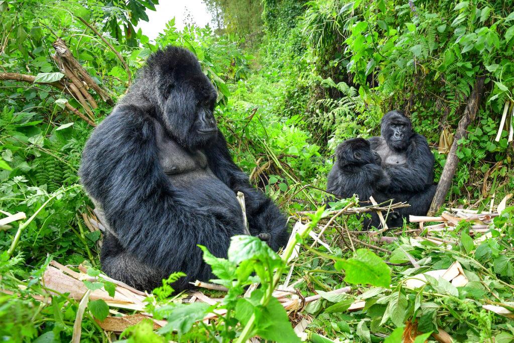 Gorilla trekking in Rwanda.