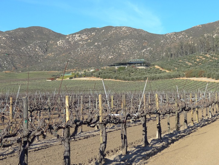 grape vines on stakes Mexican winery with hills in the background